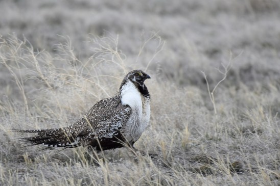 greater-sage-grouse-Wayne-D-Lewis-DSC_0308