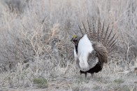 greater-sage-grouse-Wayne-D-Lewis-DSC_0403