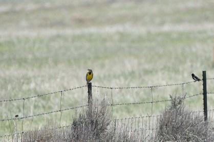 meadowlark-lark-bunting-Wayne-D-Lewis-DSC_0175