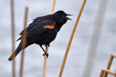 red-winged-blackbird-Wayne-D-Lewis-DSC_0659