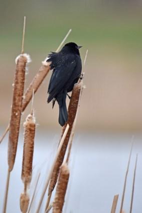 red-winged-blackbird-Wayne-D-Lewis-DSC_0674