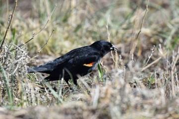red-winged-blackbird-Wayne-D-Lewis-DSC_0904