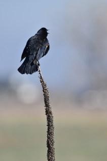 red-winged-blackbird-Wayne-D-Lewis-DSC_0912