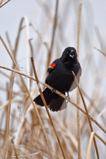 redwinged-blackbird-Wayne-D-Lewis-DSC_0699