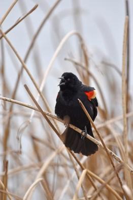 redwinged-blackbird-Wayne-D-Lewis-DSC_0702