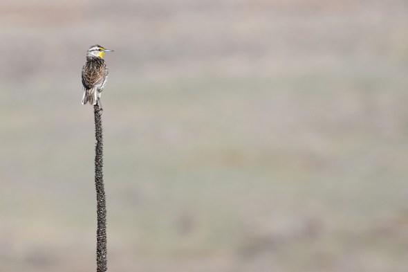 western-meadowlark-Wayne-D-Lewis-DSC_0043