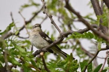 mockingbird-Wayne-D-Lewis-DSC_0591