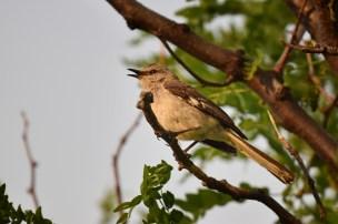 mockingbird-Wayne-D-Lewis-DSC_0637