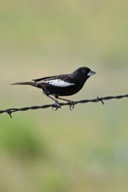 crop-lark-bunting-Wayne-D-Lewis-DSC_0814