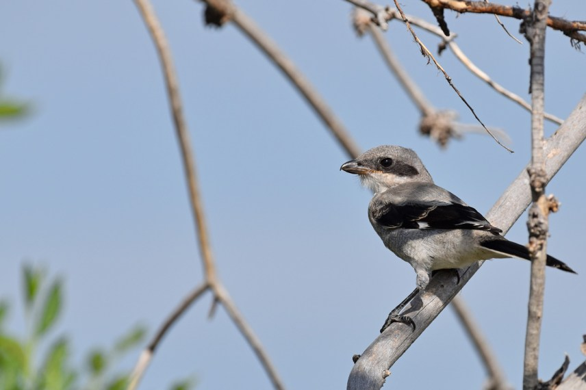 crop-northern-shrike-Wayne-D-Lewis-DSC_0841