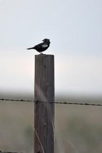 lark-bunting-Wayne-D-Lewis-DSC_0125
