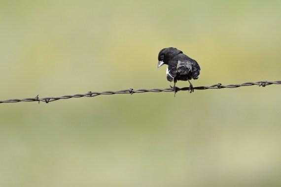 lark-bunting-Wayne-D-Lewis-DSC_0792