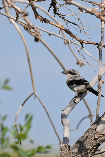 northern-shrike-Wayne-D-Lewis-DSC_0846