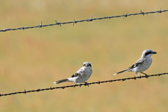 northern-shrike-Wayne-D-Lewis-DSC_0854