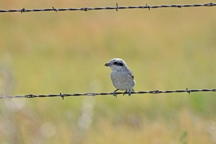 northern-shrike-Wayne-D-Lewis-DSC_0866