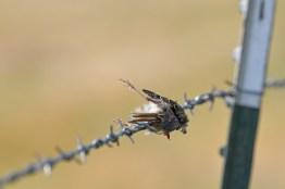 prey-northern-shrike-Wayne-D-Lewis-DSC_0869