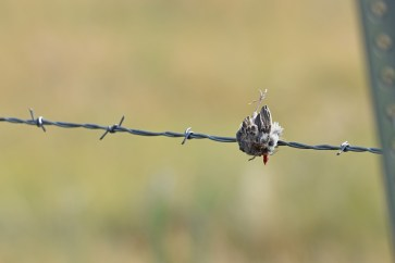 prey-northern-shrike-Wayne-D-Lewis-DSC_0870