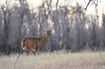 whitetail-buck-Wayne-D-Lewis-DSC_0374