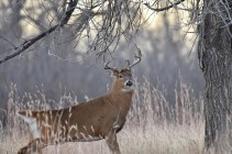 whitetail-deer-buck-Wayne-D-Lewis-DSC_0350