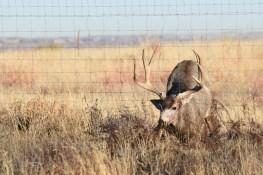 Bloody-MD-buck-fence-Wayne-D-Lewis-DSC_0285