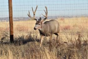 Bloody-MD-buck-fence-Wayne-D-Lewis-DSC_0297