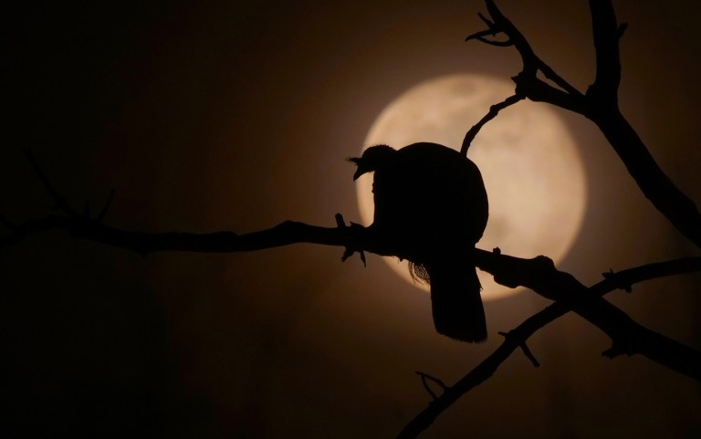 Turkey roosting during full moon