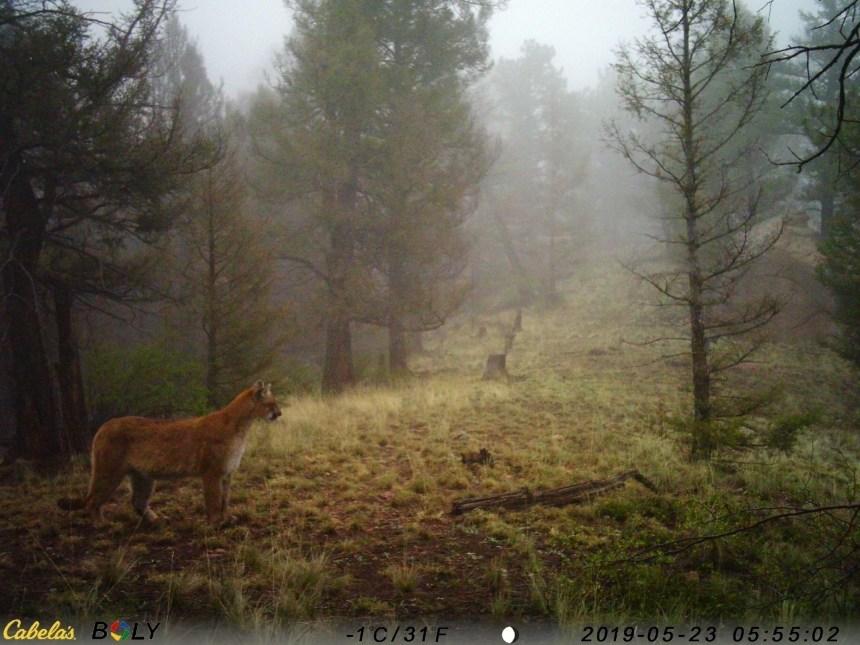 Mountain lion in Teller County