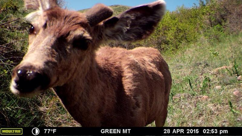 A deer near Lakewood, CO.