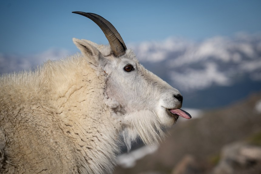 Mountain goat eating minerals
