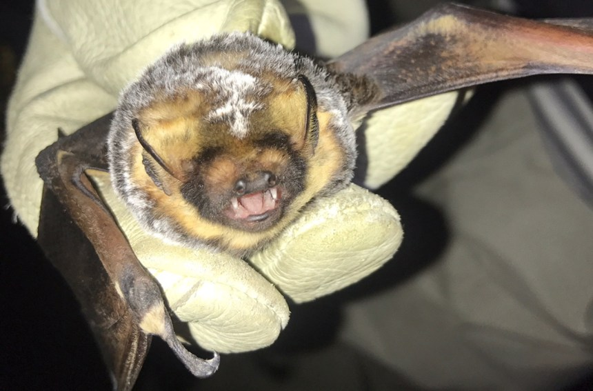Jorge the hoary bat.