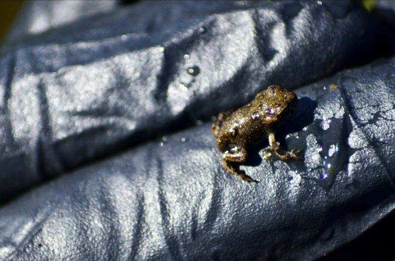 boreal toadlet