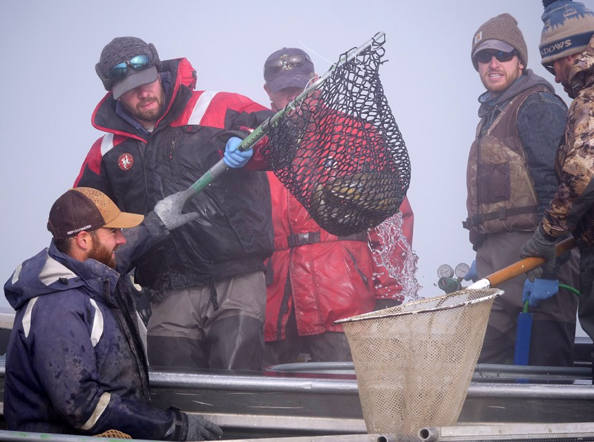 Moving brown trout to live cages