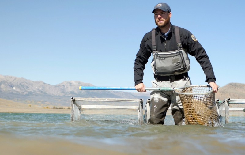 Kyle Battige uses net to move trout from live cages