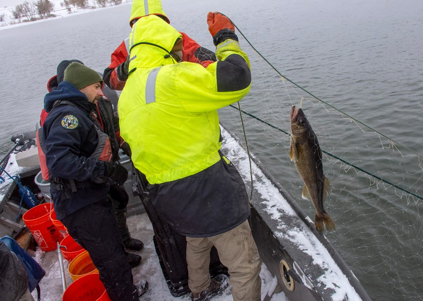 Netting walleye