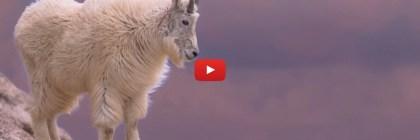 2019 Photo Issue - Mountain Goat