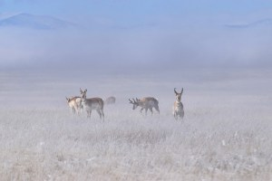 Pronghorn in frost covered field