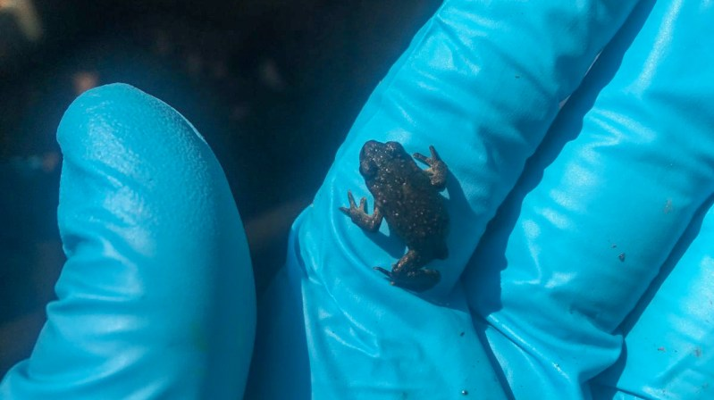 Boreal toad toadlet.