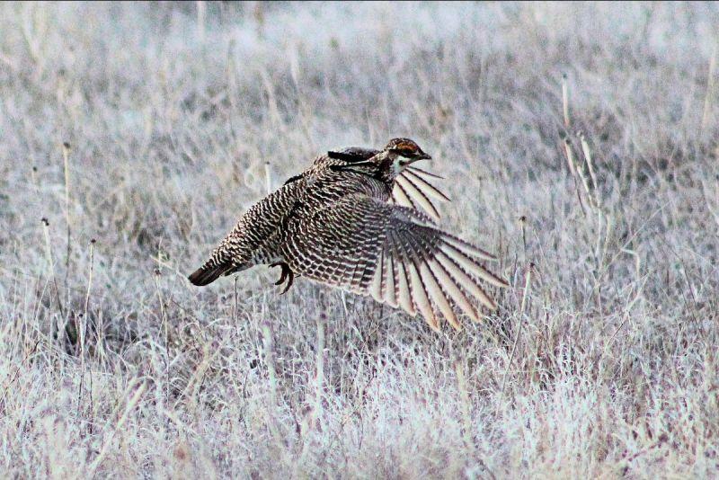 A lesser prairie chicken flies over a lek in Southeast Colorado.