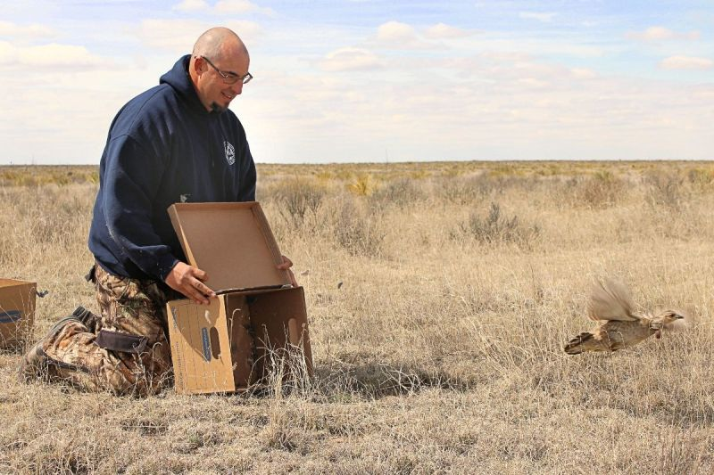Colorado Parks and Wildlife conservation biologist Jonathan Reitz releases a lesser prairie chicken in the Comanche National Grassland in southeast Colorado.