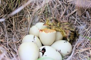 A newly hatched lesser prairie chicken