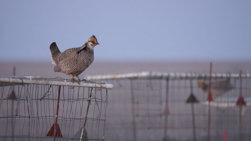 lesser prairie-chicken  on trap