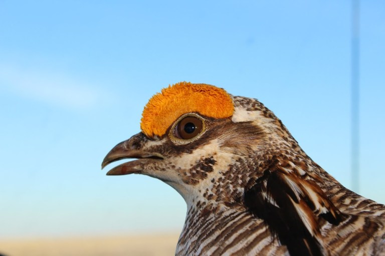 lesser-prairie chicken