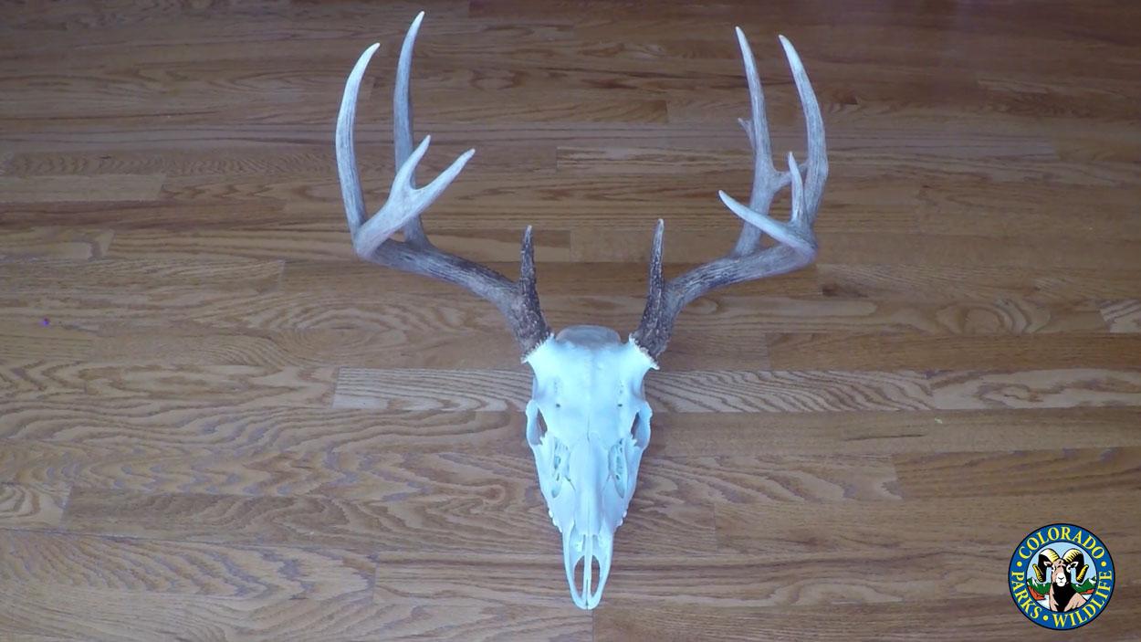 Mule deer antlers