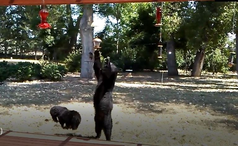 A sow and its cubs attracted near a home with hanging bird feeders.