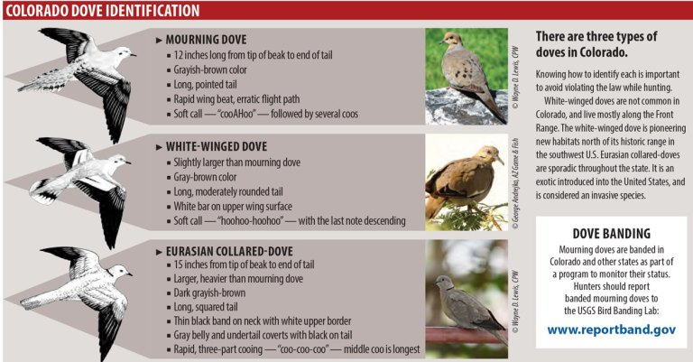 Three types of doves found in Colorado