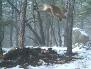 mountain lion jumps from tree