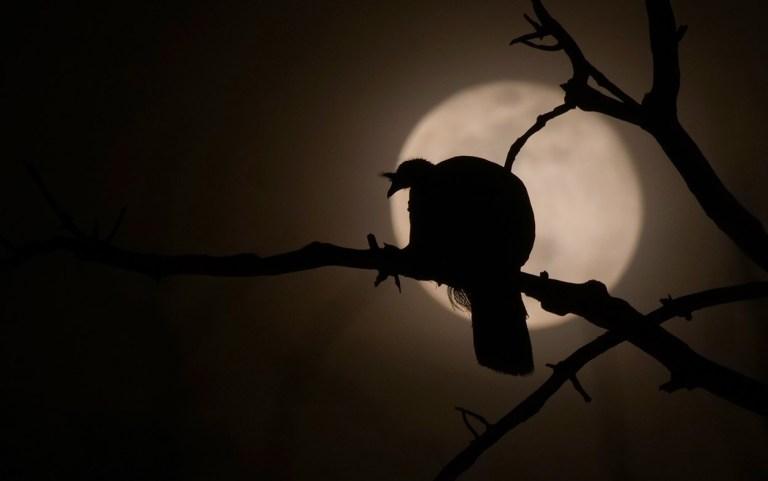 Full moon turkey