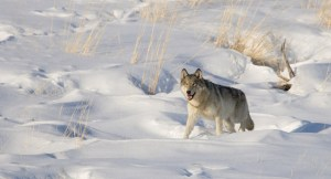 Wild Grey Wolf (Canis lupis) trotting through winter snow. Yellowstone National Park, Wyoming.