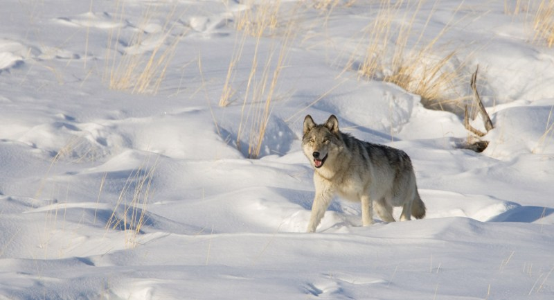 Wild Grey Wolf (Canis lupis) trotting through winter snow.  Yellowstone National Park, Wyoming