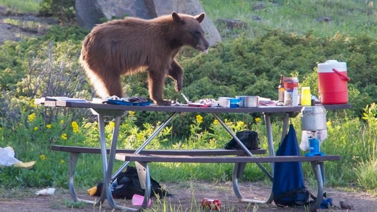 bear on picnic table